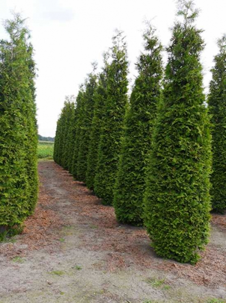 Ganz und zu Extrem Thuja occidentalis 'Brabant' / Lebensbaum 'Brabant' 400-450 cm @II_89