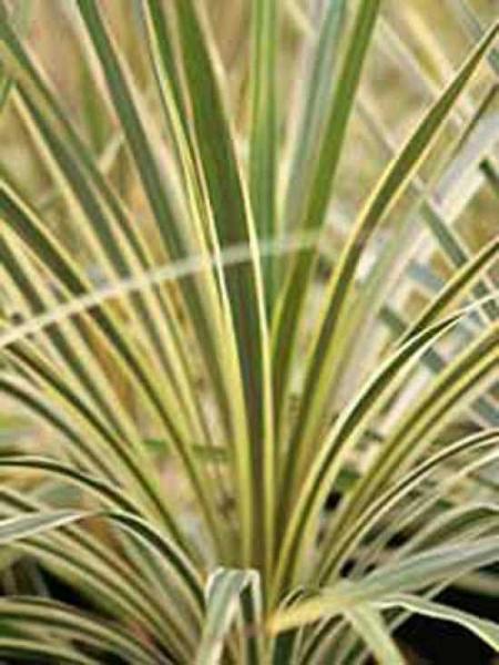 Cordyline australis 'Torbay Dazzler' / Keulenlilie 'Torbay Dazzler'