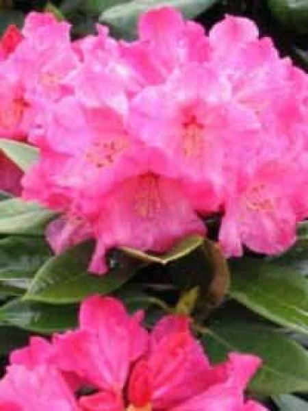 Rhododendron Hybride 'Rosarka' / Rhododendron 'Rosarka'