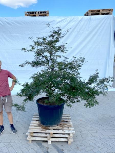 Acer palmatum 'Dissectum' / Grüner Schlitz-Ahorn / Fächer-Ahorn 150-175 cm (1205)