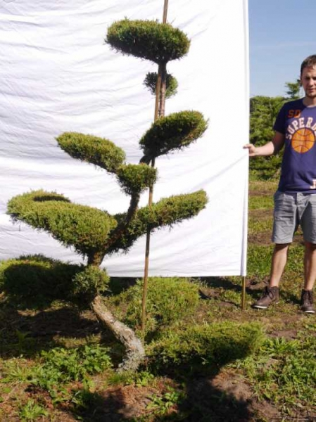Juniperus media 'Hetzii' H: 190 cm B: 150 cm / Garten-Bonsai (301555)