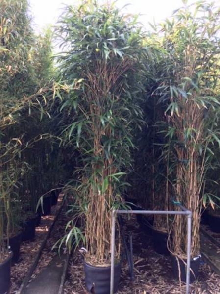 Pseudosasa japonica / Pfeilbambus 200-250 cm im 50-Liter Container