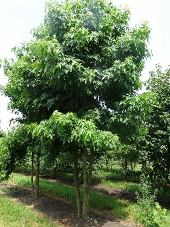 liquidambar styraciflua amerikanischer amberbaum guldenbaum 39 mehrst mmig 39 g nstig bestellen. Black Bedroom Furniture Sets. Home Design Ideas