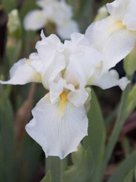Iris barbata-media 'Avanelle' / Mittelhohe Bart-Iris 'Avanelle'