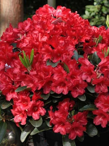 Rhododendron repens 'Rotkäppchen' auf Stamm / Zwergrhododendron 'Rotkäppchen' auf Stamm