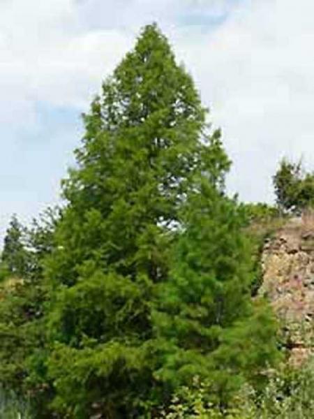 Taxodium distichum / Sumpf-Zypresse