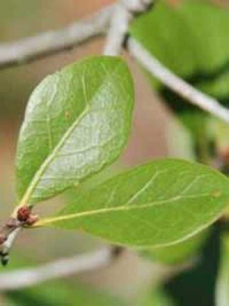 Quercus myrtifolia / Myrten-Eiche