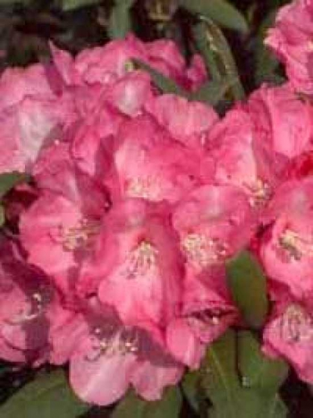 Rhododendron yakushimanum 'Daniela' / Rhododendron 'Daniela'