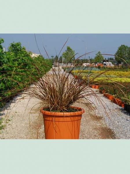 Carex tenuiculmus 'Cappuccino' / Neuseeland-Segge 'Cappuccino'