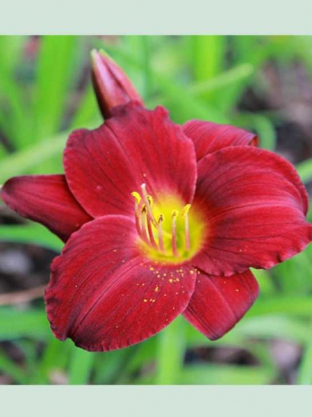 Hemerocallis cultorum \'Stella in Red\' / Taglilie \'Stella in Red ...