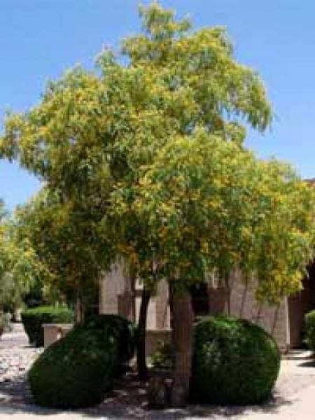 Schinus molle / Peruanischer Pfefferbaum