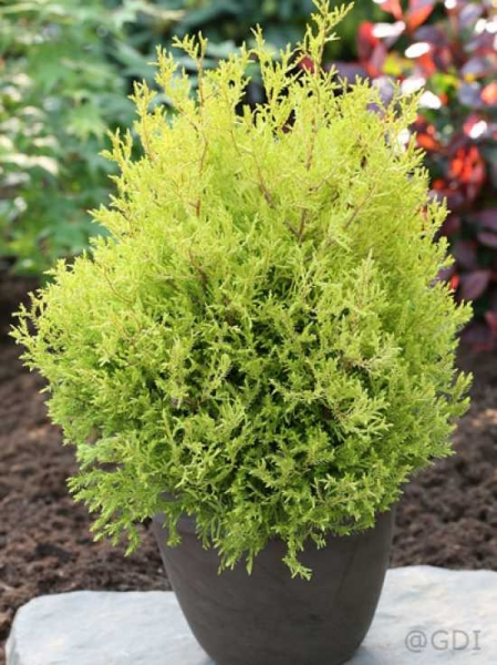 Thuja occidentalis 'Rheingold' / Lebensbaum 'Rheingold'