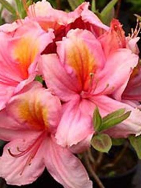 Azalea luteum 'Berryrose' (Knap-Hill) / Laubabwerfende Azalee 'Berryrose'