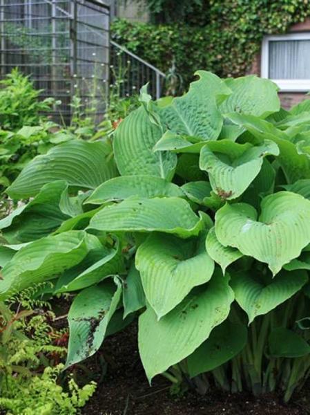 Hosta plantaginea / Duftende Garten-Lilien-Funkie