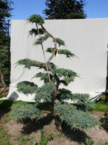 Juniperus squamata 'Blue Carpet' H: 220 cm B: 180 cm / Garten-Bonsai (306132)