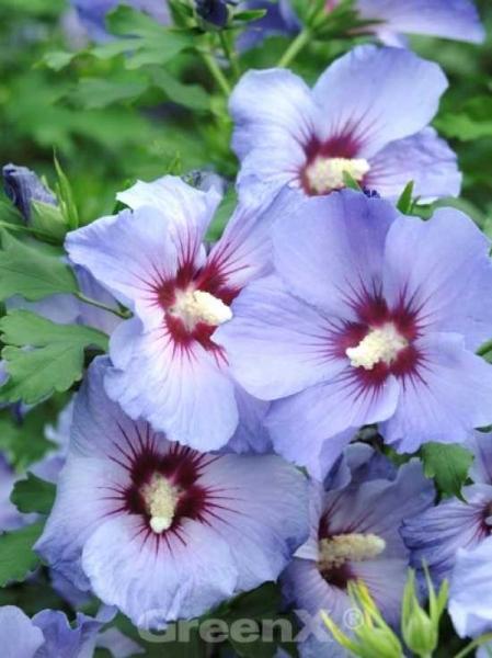 Hibiscus syriacus 'Marina' / Garteneibisch 'Marina'
