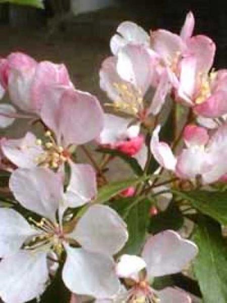 Malus floribunda / Vielblütiger Apfelbaum
