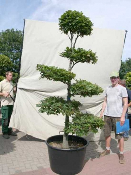 Fagus sylvatica H: 220 cm B: 120 cm / Garten-Bonsai (0441314)