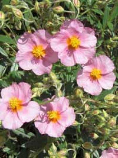 Helianthemum 'Lawrenson's Pink' / Rosa Sonnenröschen