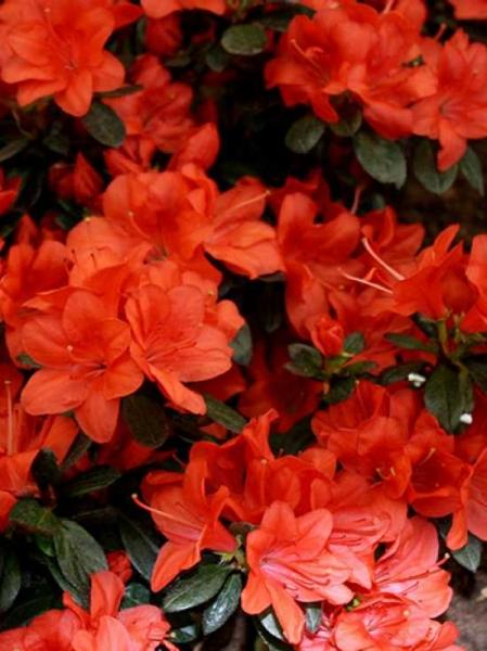 Rhododendron obtusum 'Mediante' / Japanische Azalee 'Mediante'