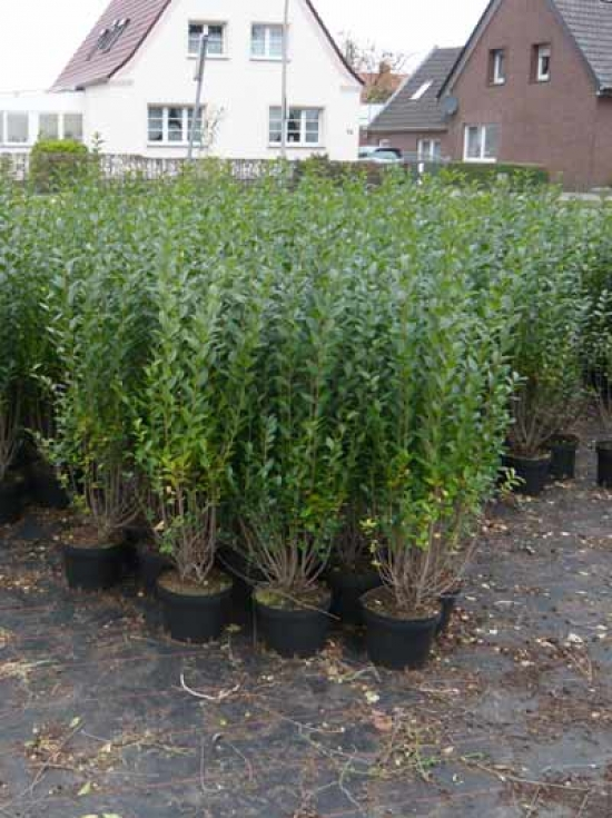 ligustrum vulgare 39 atrovirens 39 wintergr ner liguster 100 125 cm im 4 liter container g nstig. Black Bedroom Furniture Sets. Home Design Ideas