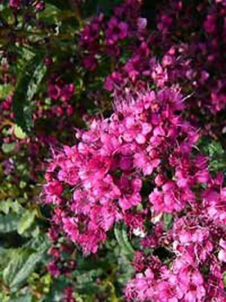 Spiraea japonica 'Country Red' / Japan-Spiere 'Country Red'