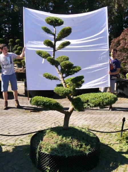Juniperus media 'Hetzii' H: 190 cm B: 140 cm / Garten-Bonsai (301582)