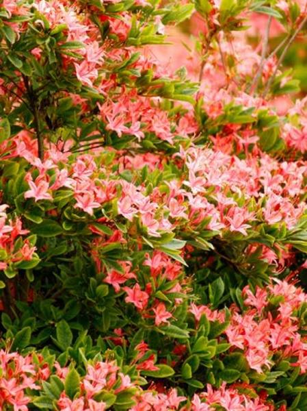 Azalea viscosa 'Juliduft' / Sommergrüne Azalee 'Juliduft'