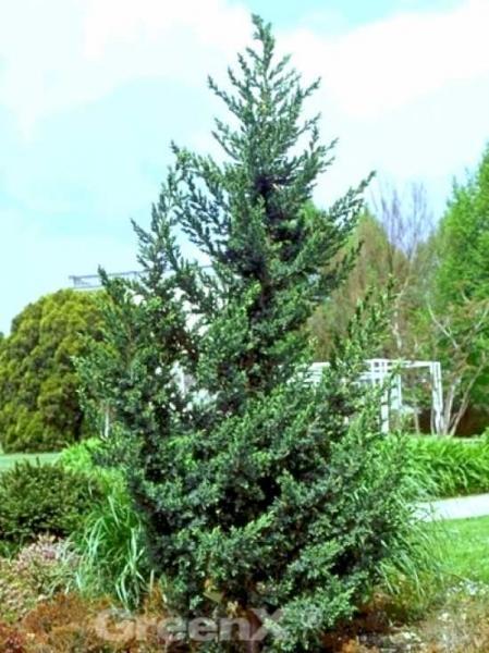 Juniperus chinensis 'Monarch' / Chinesischer Wacholder 'Monarch'