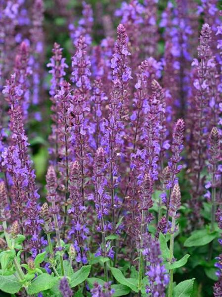 Salvia nemorosa 'Merleau Blau' / Garten-Salbei