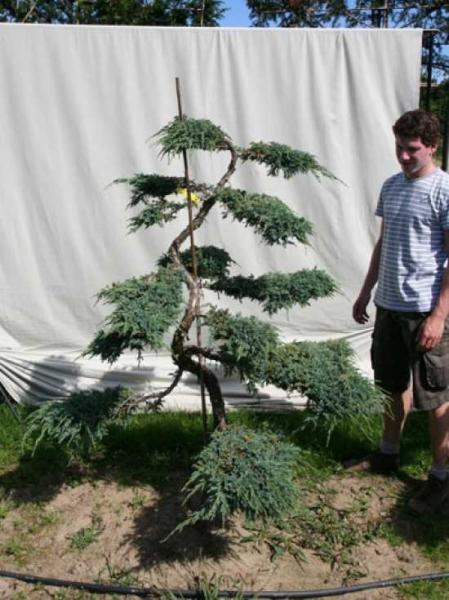 Juniperus squamata 'Blue Carpet' H: 180 cm B: 150 cm / Garten-Bonsai (306121)