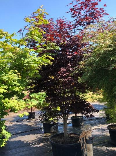 Acer palmatum 'Bloodgood' / Fächer-Ahorn / Japanischer Ahorn 250-300 cm Solitär (1103)
