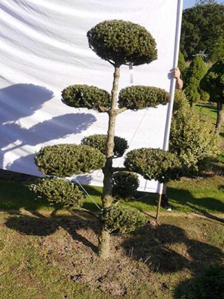 Abies koreana H: 190 B: 120 cm / Garten-Bonsai (0224)