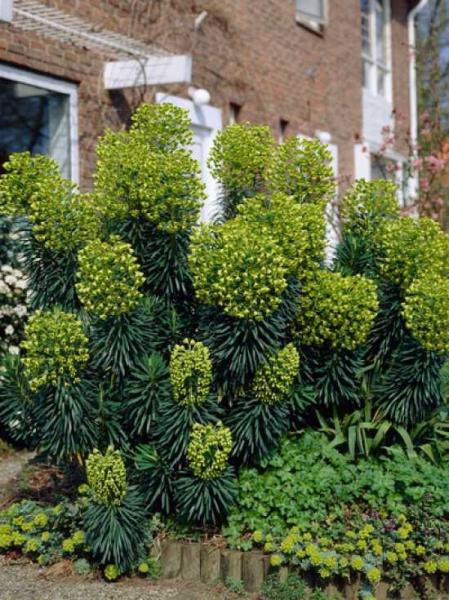 Euphorbia characias / Palisaden Wolfsmilch