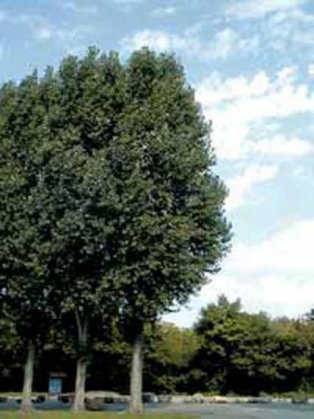 Populus nigra 'Vereecken' / Schwarz-Pappel 'Vereecken'