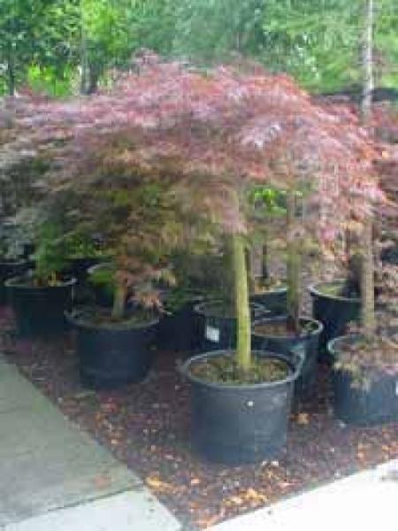 Acer palmatum 'Dissectum Garnet' auf Stamm / Dunkelroter Schlitz-Ahorn / Japanischer Ahorn