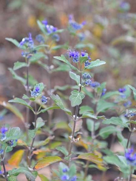 Caryopteris clandonensis 'Grand Bleu' ® / Bartblume 'Grand Bleu' ®