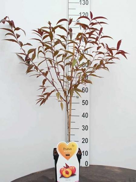 Prunus persica 'Rubira'® / Rotlaubiger Wildpfirsich / Zierpfirsich 'Rubira'