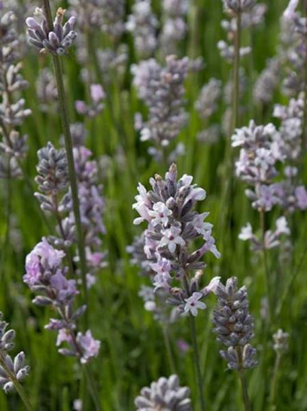 Lavandula angustifolia 'Miss Katherine' / Garten-Lavendel 'Miss Katherine'