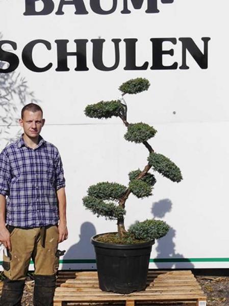 Juniperus chinensis 'Blue Alps' H: 100-125 cm / Garten-Bonsai (2503)