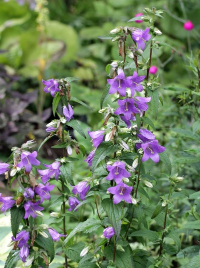 Campanula trachelium / Nesselblättrige Glockenblume