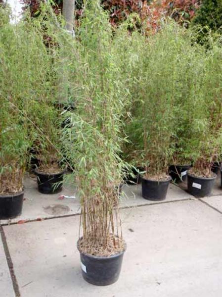 Fargesia nitida 'Jiuzhaigou 1' / Jade Bambus 125-150 cm im 12-Liter Container