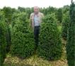 buxus_rotundifolia2_kl