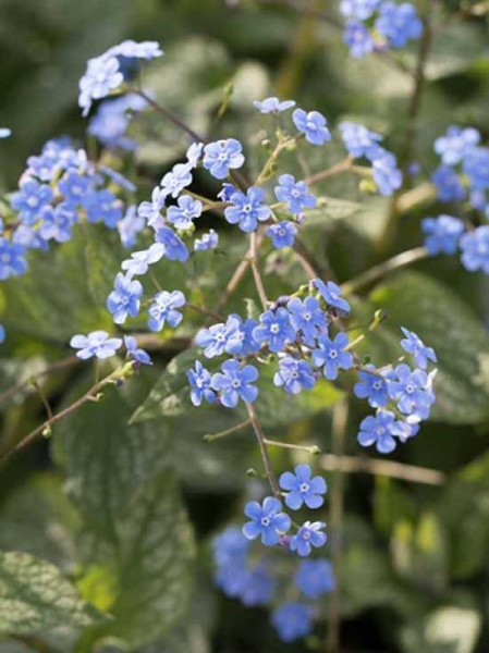 Brunnera macrophylla 'Alexander's Great' / Kaukasus-Vergißmeinnicht