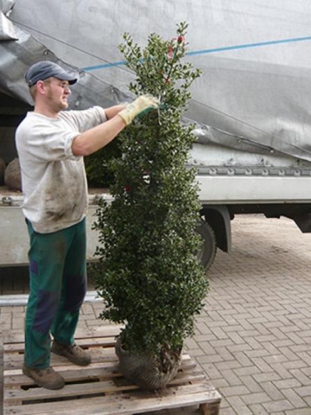 Ilex aquifolium 'Alaska' / Stechpalme 175-200 cm mit Ballierung