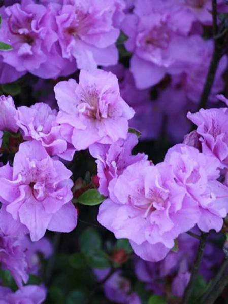 Rhododendron obtusum 'Thekla' / Japanische Azalee 'Thekla'