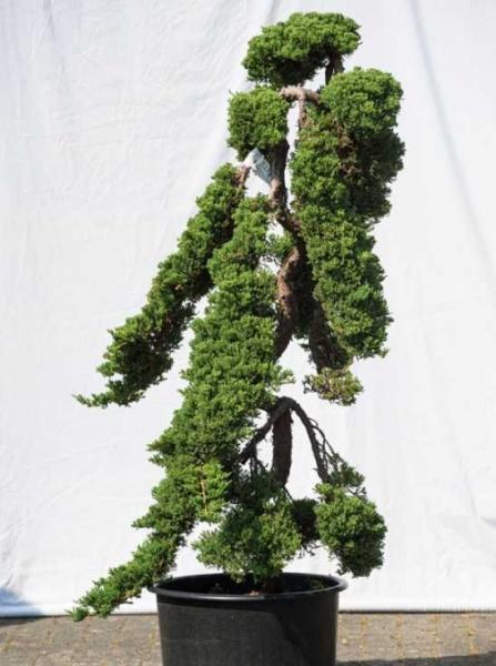 Juniperus procumbens 'Nana' H: 150 cm B: 80 cm / Garten-Bonsai (523)