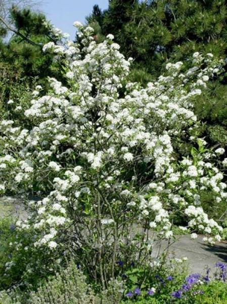Aronia arbutifolia 'Brilliant' / Apfelbeere 'Brilliant' / Zwergvogelbeere 'Brilliant'