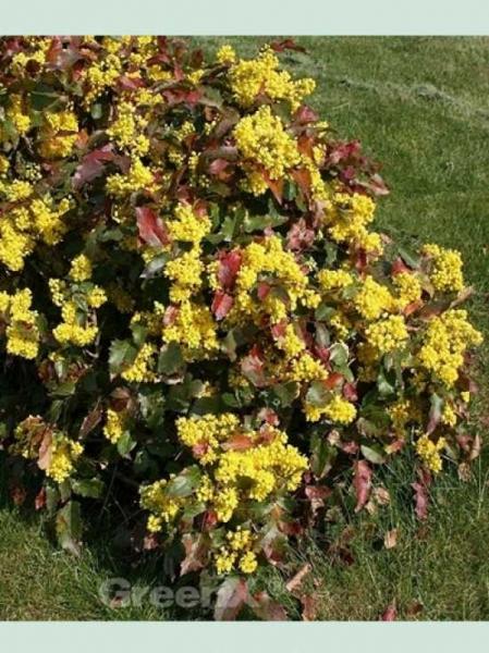 Mahonia aquifolium 'Apollo' / Niedrige Mahonie 'Apollo'