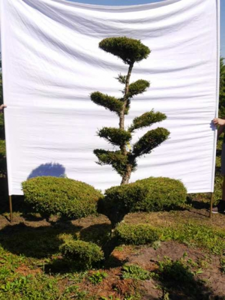 Juniperus media 'Hetzii' H: 200 cm B: 150 cm / Garten-Bonsai (301568)